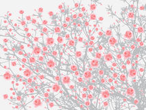 Full bloom pink sakura tree Cherry blossom light gray background Royalty Free Stock Photography