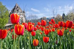 Full bloom red tulips in front Chateau Laurier in Ottawa, Ontar Stock Image