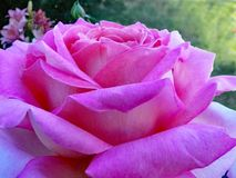 Full bloom of Rose `Chicago Peace` in the garden. Huge, beautiful, two-toned pink flowers of this famous and dearly beloved hybrid tea grace and share fragrance Royalty Free Stock Image