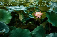 Full bloom Royal lotus flowers among green leaves in famous Summer lotus pond of West Lake. Hangzhou, Zhejiang - China. Royal lotus flowers green leaves in stock photo