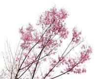 Full bloom sakura flower isolated. (Cherry blossom royalty free stock images