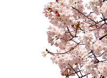 Full bloom sakura flower tree isolated Cherry blossom Stock Photo