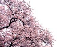 Full bloom sakura flower tree isolated Cherry blossom. Full bloom sakura flower tree isolated, pink japan flora bush, spring floral branch on white background royalty free stock images