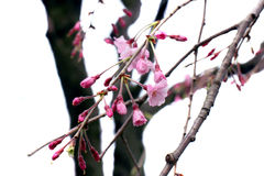 Full bloom sakura flower tree isolated Cherry blossom Stock Photography