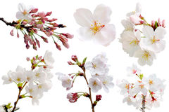 Full bloom sakura flower tree isolated with clipping path. Pink japan flora bush, spring floral branch on white background. Treetop of Cherry blossom petal stock photo