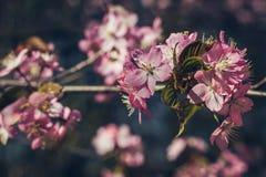 Full bloom sakura in japan, Cherry blossom, Japanese Spring Flower. Full bloom sakura in japan, Cherry blossom, Japanese Spring Pink Flower royalty free stock photos