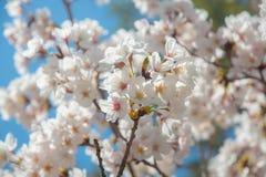 Full bloom sakura in kawaguchiko. Full bloom pink sakura in kawaguchiko, Japan Stock Photo