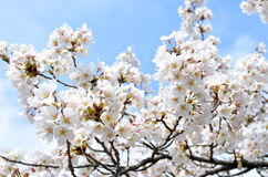 Full bloom sakura Royalty Free Stock Images