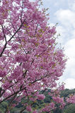Full bloom sakura Royalty Free Stock Photos