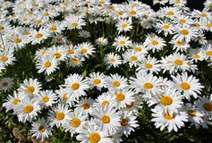 Free Full Bloom Shasta Daisies In Mid Summer Stock Photos - 97196953