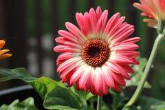Full Bloom Royalty Free Stock Image
