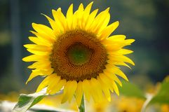 Full bloom sun flower Stock Photos