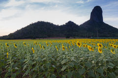 Full bloom Sunflower field Stock Photos