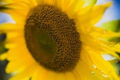 Full bloom sunflower field Royalty Free Stock Photos