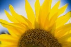 Full bloom sunflower field Stock Image