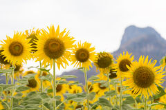 Full bloom sunflower filed Stock Photography