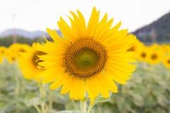 Full bloom sunflower Stock Image
