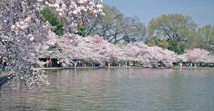 Full Bloom - Tidal Basin - Washington, DC. Walk along the Tidal Basin in Washington, DC with cherry blossoms in full bloom Royalty Free Stock Photos