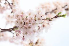 Full bloomed cherry blossoms Royalty Free Stock Photo