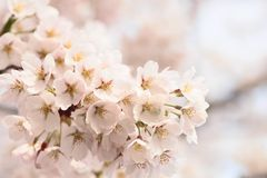 Full bloomed cherry blossoms Stock Images