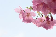 Full bloomed cherry blossoms Stock Photos