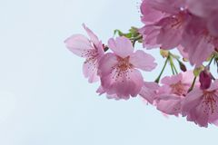 Full bloomed cherry blossoms Stock Photo