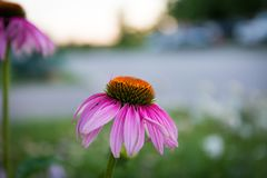 A pink flower. A full bloomed pink flower Royalty Free Stock Image