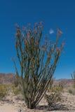 Full Blooming Ocotillo In Desert stock image