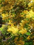 Full Blooming Padauk flower Stock Photos