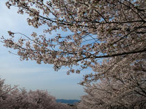 Full blooming pink Cherry Blossom or Sakura with blue sky. Full blooming pink Cherry Blossom or Sakura along Keage Incline with blue sky Royalty Free Stock Images