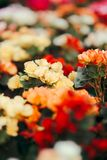 Beautiful Colorful Begonia Flower Bouquet Stock Images