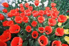 Full blooming tulip flower background. The image of the full blooming tulip flower in the garden at spring time Royalty Free Stock Images