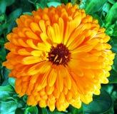 Full Blossom. A flower in full blossom Stock Photography