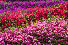 Full blossoming azalea field Stock Photography