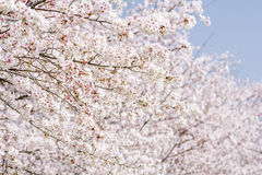 Full blossoming cherry Royalty Free Stock Photo
