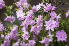 Azalea double flower. Full blossoming of purple azalea double flowers Royalty Free Stock Images