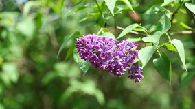 Full blossoming purple flower cluster of Lilac tree in mild wind, 4K resolution. Full blossoming purple flower cluster of Lilac tree, possibly Syringa Vulgaris stock video
