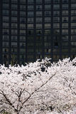 Full blown Korean cherry blossoms in City Stock Photo