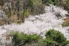 Full blown Korean cherry blossoms in Nam-Mountain in Seoul, Kore Stock Images