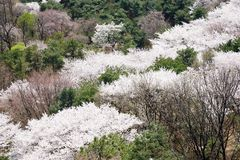 full blown Korean cherry blossoms Royalty Free Stock Photography