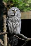 Full body of adult great grey owl Strix nebulosa on the tree branch. Photography of nature and wildlife stock photo