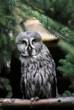 Full body of adult male great grey owl Strix nebulosa. Photography of nature and wildlife royalty free stock images
