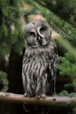 Full body of adult male great grey owl Strix nebulosa on the tree branch. Photography of nature and wildlife royalty free stock photography