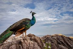 Full body of beautiful feather indian peacock standing on rock Royalty Free Stock Photography