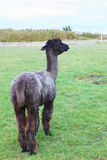 Full body of black fur alpaca Royalty Free Stock Photo