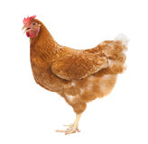Full body of brown chicken ,hen standing isolated white background use for farm animals and livestock theme stock photography