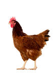 Full body of brown chicken ,hen standing isolated white background use for farm animals and livestock theme.  stock image