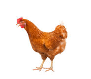 Full body of brown chicken ,hen standing isolated white background use for farm animals and livestock theme stock photo