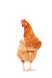 Full body of brown chicken hen standing isolated white backgroun Stock Images