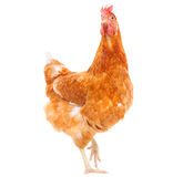 Full body of brown chicken hen standing isolated white backgroun Stock Photo